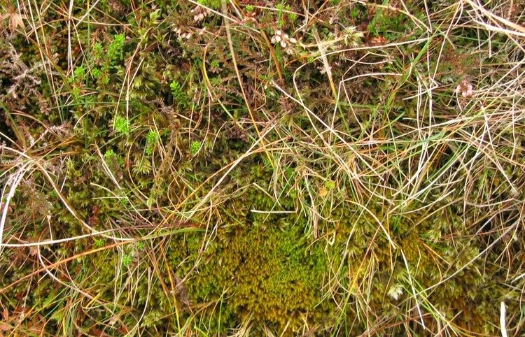 Herbertus Student projects at RBGE DNA barcoding of the leafy liverwort genus