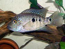 Herichthys tepehua httpsuploadwikimediaorgwikipediacommonsthu