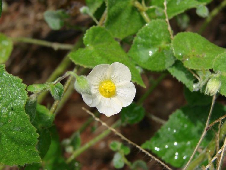 Herissantia httpsuploadwikimediaorgwikipediacommons11