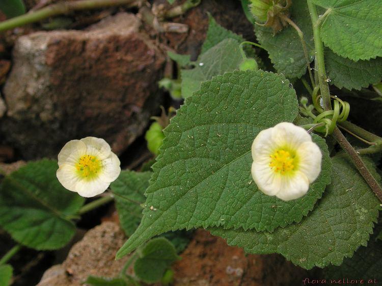 Herissantia FileHerissantia crispa flowersjpg Wikimedia Commons