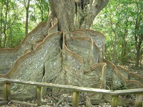 Heritiera Heritiera littolaris tree Nature Pinterest Trees Plants and