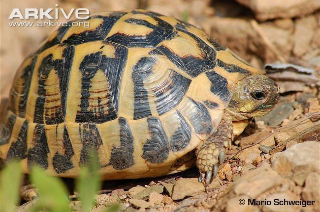 Hermann's tortoise Hermann39s tortoise videos photos and facts Testudo hermanni ARKive
