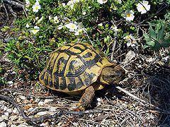 Hermann's tortoise httpsuploadwikimediaorgwikipediacommonsthu