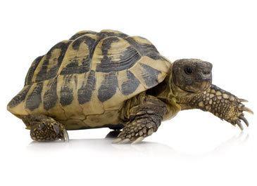 Hermann's tortoise Hermann39s Tortoise Care Sheet Reptile Centre