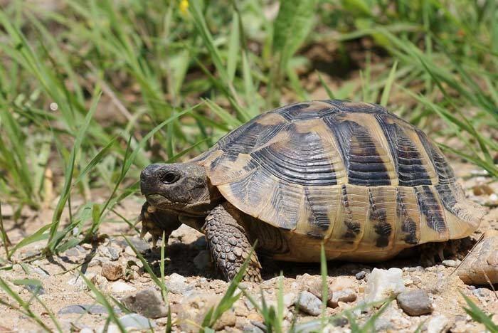 Hermann's tortoise All About Hermann39s Tortoises Petopedia