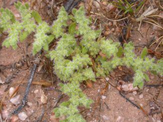 Herniaria hirsuta httpsuploadwikimediaorgwikipediacommonsdd