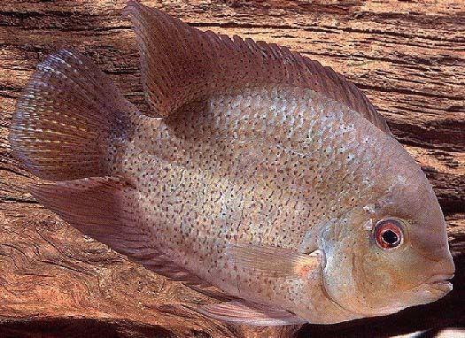 Heroina isonycterina Mostly Cichlids Neotropical cichlids