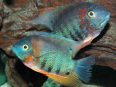 Heros (genus) 1000 images about Fish on Pinterest Malawi cichlids Cichlids and