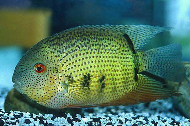 Heros (genus) Fish Identification