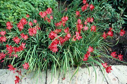 Hesperantha coccinea Hesperantha coccinea 39Major39 crimson flag lily 39Major39RHS Gardening