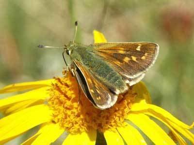 Hesperia comma Hesperia comma on euroButterflies by Matt Rowlings