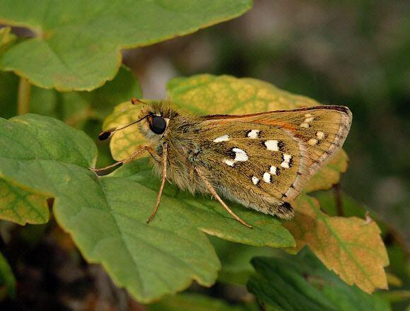 Hesperia comma Butterflies of Europe Hesperia comma