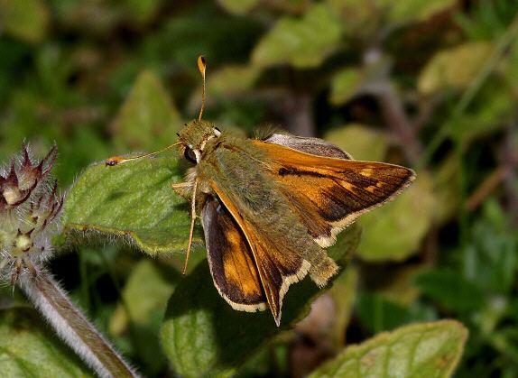 Hesperia comma Butterflies of North America Hesperia comma
