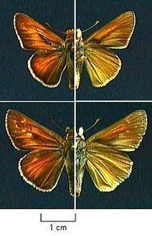 Hesperia ottoe httpsuploadwikimediaorgwikipediacommonsthu