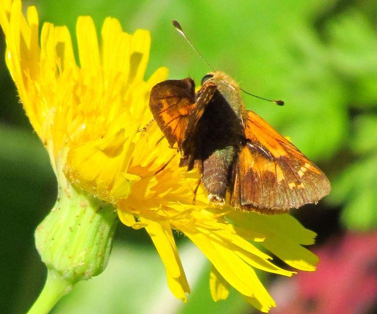 Hesperia sassacus