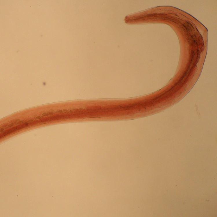 Heterakis Identification of ticks