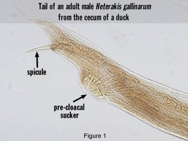 Heterakis Pathology and Commonness of Heterakis gallinarum in Gallinaceous