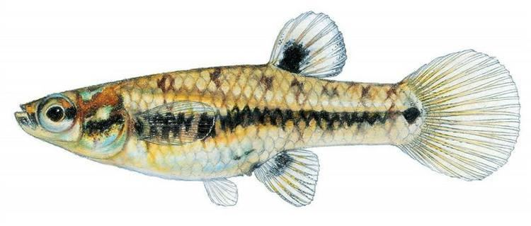 Heterandria Fishes of Texas Heterandria formosa