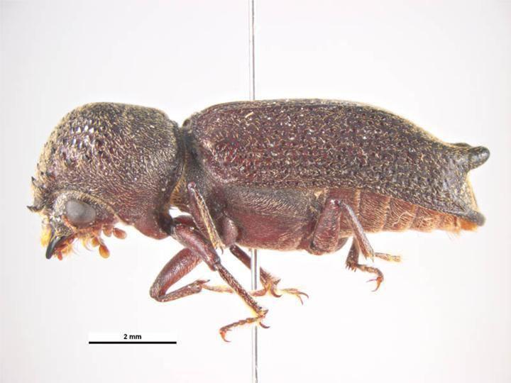 Heterobostrychus mediapadilgovauSpecies1356612482largejpg