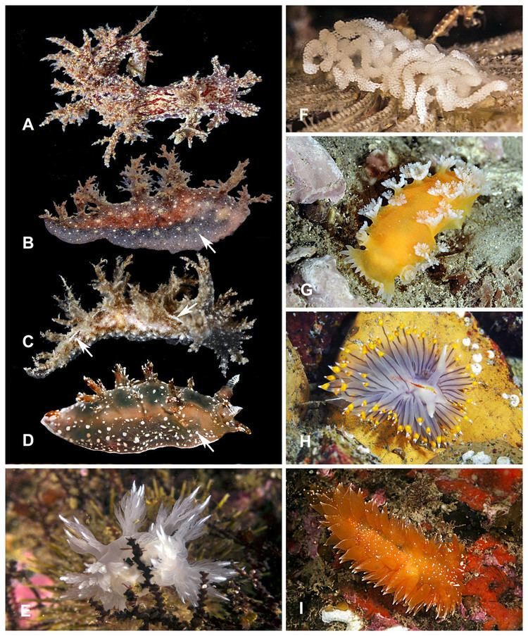 Heterobranchia Shallow water sea slugs Gastropoda Heterobranchia from the