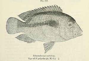 Heterochromis httpsuploadwikimediaorgwikipediacommonsthu