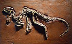 Heterodontosaurus Heterodontosaurus Wikipedia