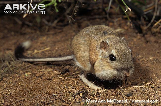 Heteromyidae wwweasynotecardscomuploads10111553022d8613