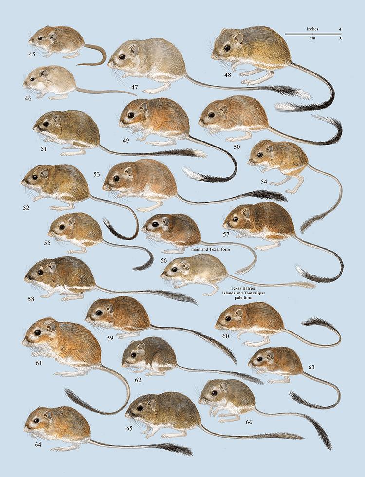 Heteromyidae Plates Lynx Edicions