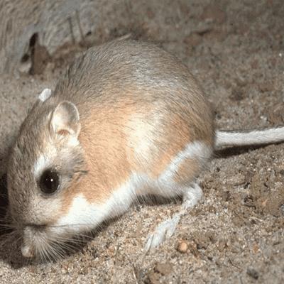 Heteromyidae Families Heteromyidae