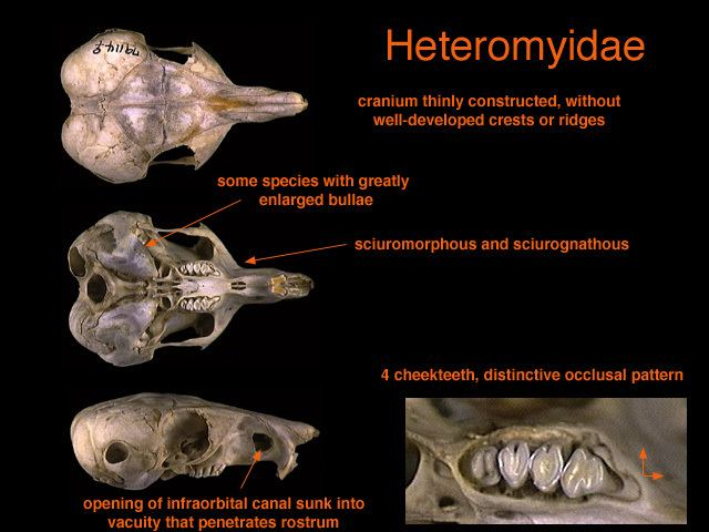 Heteromyidae Rodents Rabbits