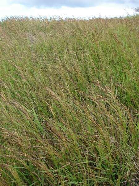 Heteropogon bunched spear grass 8750 English common name Heteropogon contortus