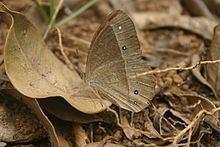 Heteropsis adolphei httpsuploadwikimediaorgwikipediacommonsthu