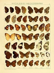 Heteropsis drepana httpsuploadwikimediaorgwikipediacommonsthu