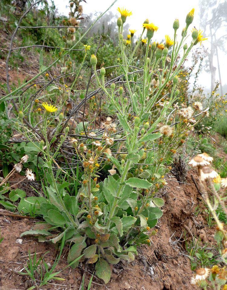 Heterotheca grandiflora Heterotheca grandiflora Wildflowers in Santa Barbara