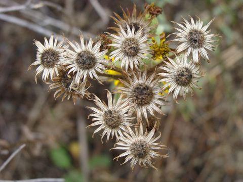 Heterotheca grandiflora Telegraph weed Heterotheca grandiflora