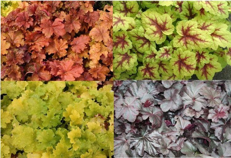 Heuchera Versatile colourful Heuchera advice and gardening tips from Alan Down