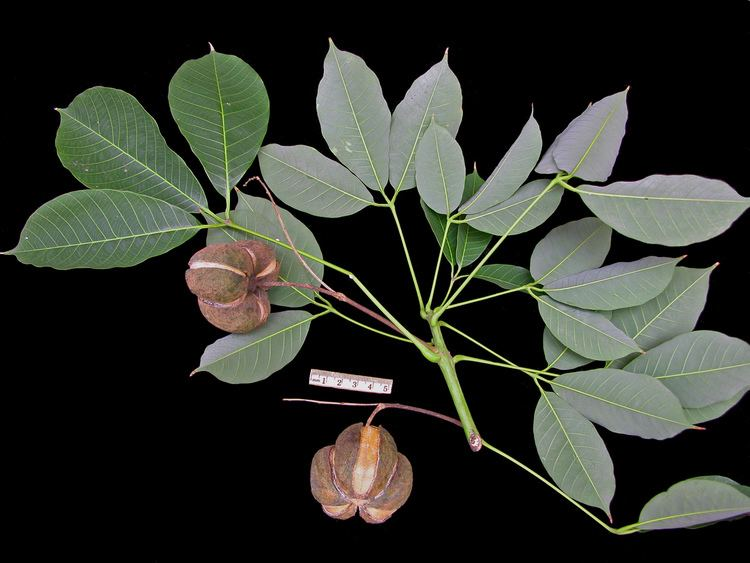 Hevea brasiliensis Smithsonian Tropical Research InstituteHevea brasiliensis