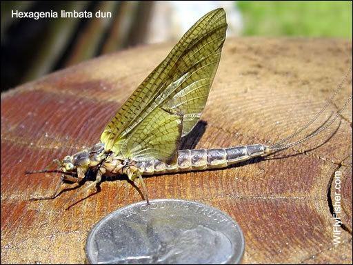 Hexagenia limbata Hexagenia limbata Hexagenia mayfly Hex hatch