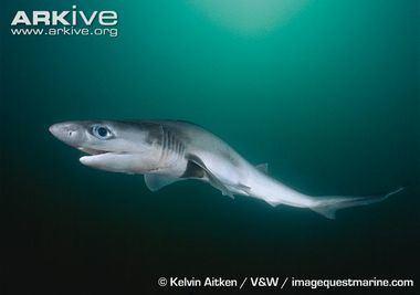 Hexanchiformes sharkrayresearchweeblycomuploads2436243628