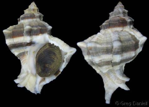 Hexaplex trunculus Hexaplex Trunculariopsis trunculus trunculus