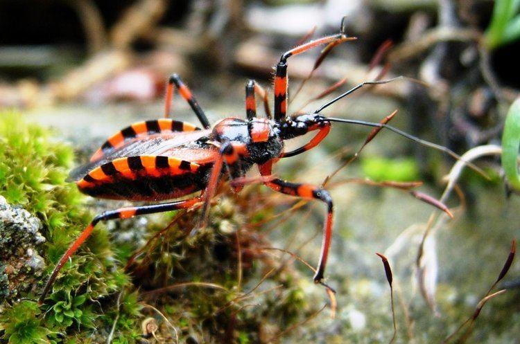 Hexapoda Panoramio Photo of Hexapoda Heteroptera Reduviidae Rhynocoris