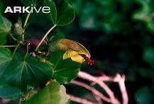 Hibiscadelphus woodii cdn2arkiveorgmediaF3F39BF3A0E23B41D3B6ED6