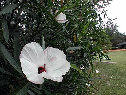 Hibiscus heterophyllus Hibiscus heterophyllus MALVACEAE Native Rosella