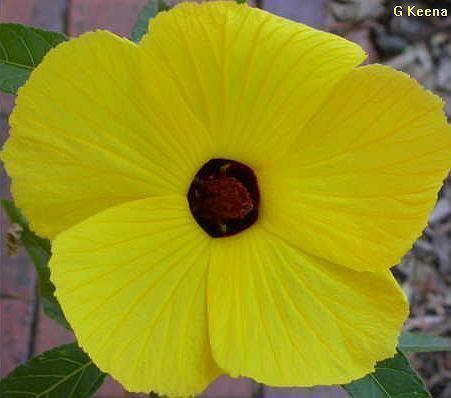 Hibiscus heterophyllus hhetjpg