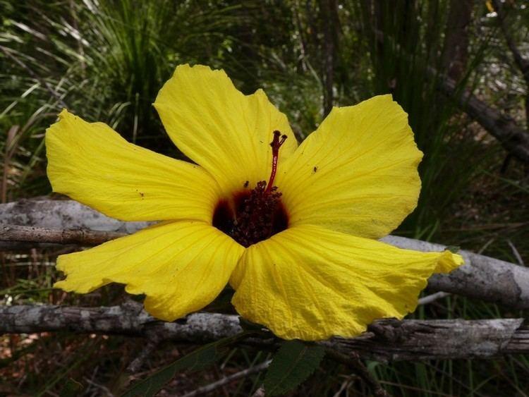 Hibiscus heterophyllus heterophyllus subsp heterophyllus