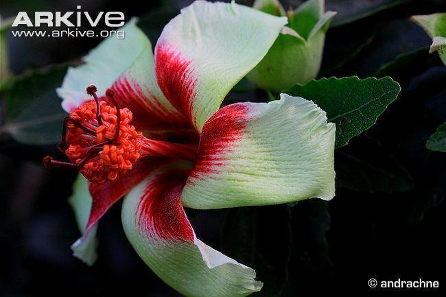 Hibiscus insularis Philip Island hibiscus photo Hibiscus insularis G124855 ARKive