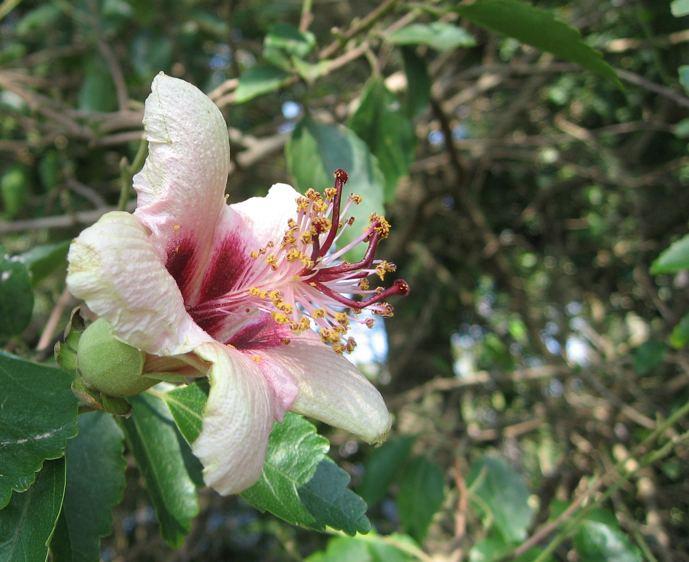 Hibiscus insularis Hibiscus insularis growing at the Royal Botanic Gardens Sydney