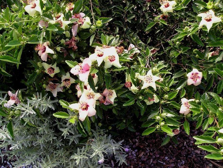 Hibiscus insularis The Ultimate Hibiscus Jerry ColebyWilliams