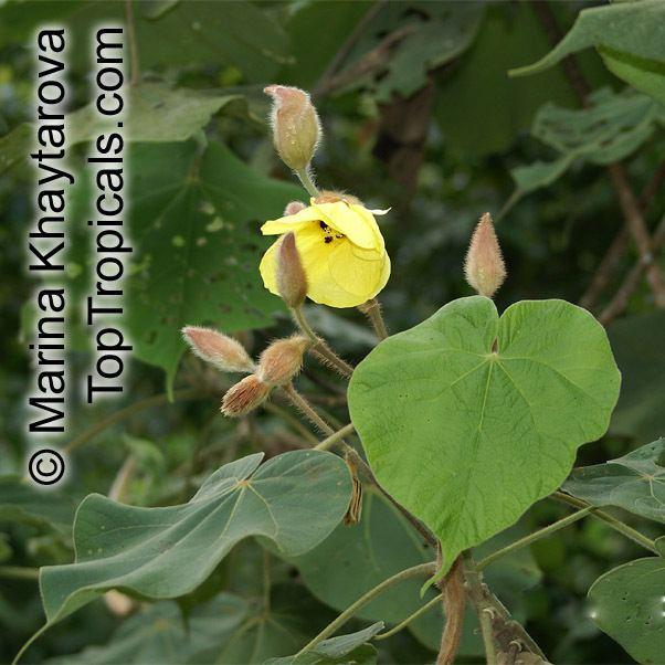 Hibiscus macrophyllus Hibiscus macrophyllus Hibiscus setosus Hibiscus vestitus
