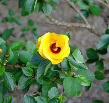 Hibiscus scottii httpsuploadwikimediaorgwikipediacommonsthu